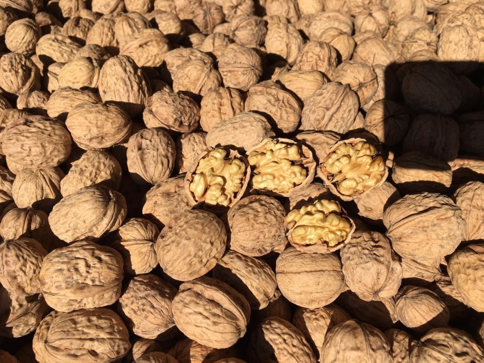 Fernor Walnut Sapling
